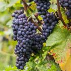 Le Pinot Noir